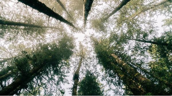 樟子松是一种什么样的树种,可以用在什么地方?
