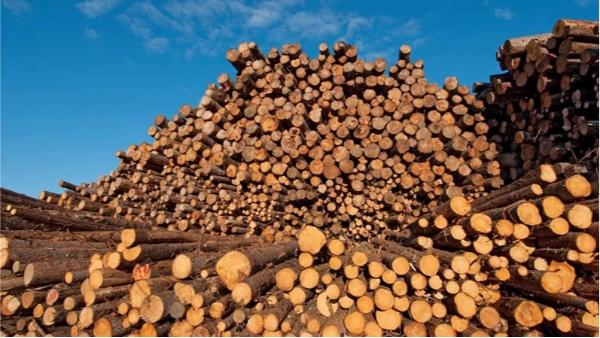 俄罗斯进出口中国松木材情况介绍-新弘瑞森