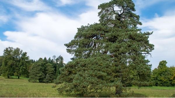 樟子松木的优缺点