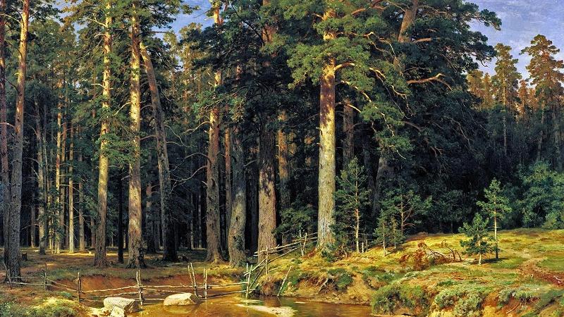 俄罗斯樟子松原始森林