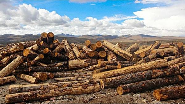 什么是俄罗斯松木材-新弘瑞森