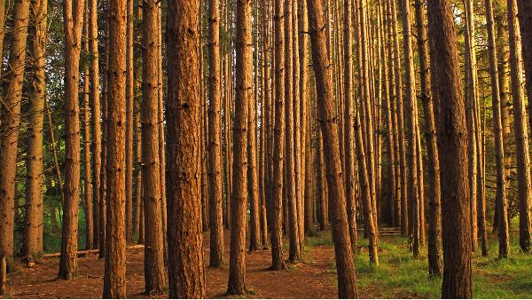 进口松木材价格在跌至四年来的最低水平后略有改善