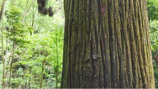 进口松木有哪些它们可以被分成什么种属?
